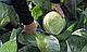 Семена капусты Циклон F1 \ Cyclone F1  2500 семян Bejo zaden, фото 4