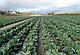 Семена капусты Леннокс F1 \ Lennox F1 2500 семян Bejo zaden, фото 3