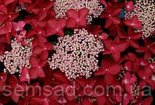 Гортензия крупнолистная  Ротшванц  ( саженцы ), фото 2