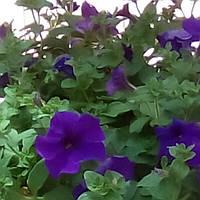 Сурфиния крупноцветковая синяя, Р12