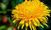 Отдушка  для мыла Хризантема, Floressence