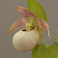 "Cypripedium "" Tilman"""