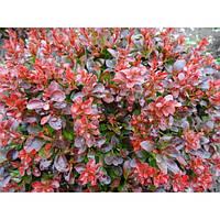 Барбарис - Berberis th. Atropurpurea Nana(высота 20-30 см, горшок 2л)