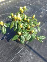 Азалия японская - Rhododendron в асортименті(высота 30-50 см, горшок 5л)