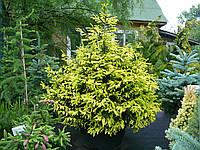 "Ель ""Orientalis Aureospicata"" 150-175см."