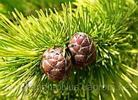 Обрезка хвойных и лиственных плодовых и парковых больших и маленьких деревьев Услуги садовника, фото 1
