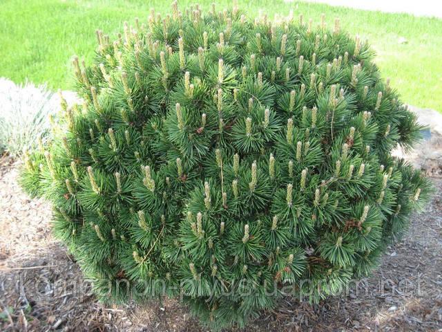 Обрезка хвойных и лиственных, плодовых и парковых, больших и маленьких деревьев. Услуги профессионального садовника.