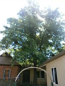 Орех диаметром 50 см,растущий в 2-х метрах от дома, практически все ветки растут в сторону крыши. Под деревом проходит электрический кабель.