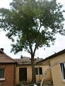 Удалены все нижние ветки нависавшие на крышей.