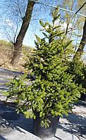 Ель обыкновенная Виллс Цверг (Picea abies Will's Zwerg) С12