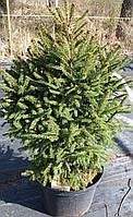 Ель обыкновенная `Компакта`, Picea abies `Compacta` С12