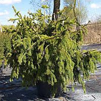 """Ель обыкновенная Акрокона """"Picea abies Acrocona"""" С40"""
