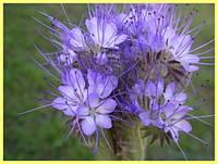 Фацелия медонос для пчел