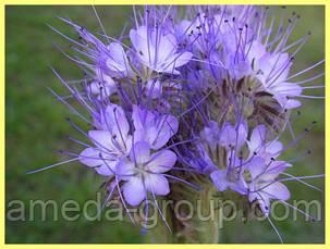 Фацелия медонос для пчел, фото 2