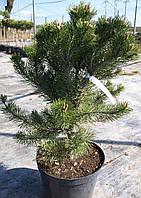 Сосна горная  'Pinus mugo Columnaris' C10