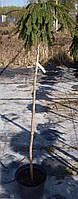 """Ель обыкновенная """"Picea abies Inversa"""" Pa  100-120   C 7,5"""