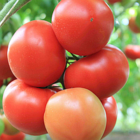 Посадка семян томатов в грунт