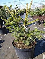 Ель колючая  (Picea pungens Lucky Strike)  C 10