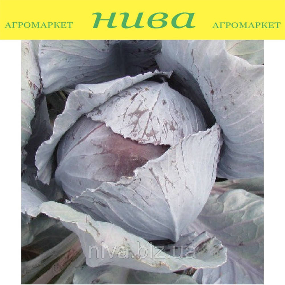 Авангард F1 семена капусты краснокачанной среднепоздняя Semenaoptom 2 500 семян