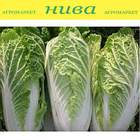 Білко F1 (Bilko F1) насіння капусти пекінської Bejo 500 насінин