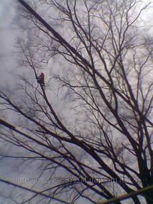 Удаление  дуба росшего возле дома 7