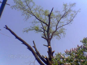 Удаление  дуба росшего возле дома 8
