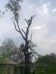 Удаление  дуба росшего возле дома 9