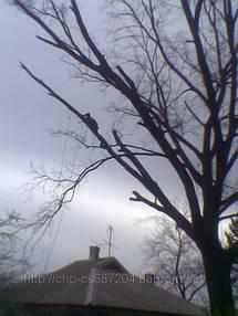 Удаление  дуба росшего возле дома 4