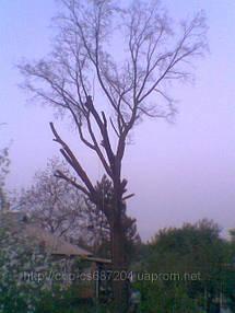 Удаление  дуба росшего возле дома 6