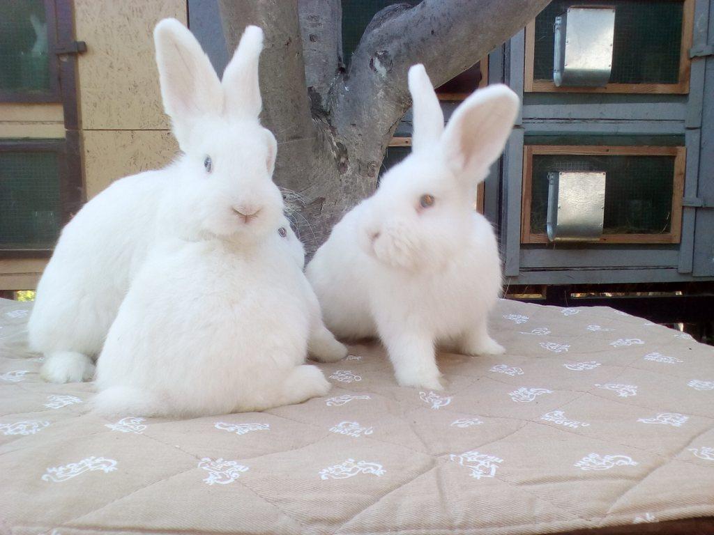кролик венский белый
