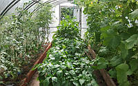 Які рослини можна садити разом в теплиці?