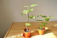 Инжировое дерево 30-50см