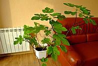 Инжировое дерево 80см-1м в вазоне