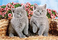 "Кастор пазлы 120 midi ""Британские шотландские котята"" 32*23 /40/"