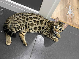 Бенгал Ф1 - выпускник питомника бенгальских и азиатских леопардовых кошек Royal Cats.