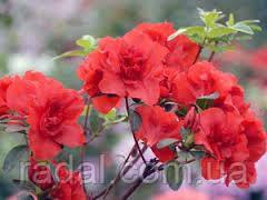 Азалия японская Розова, Красная