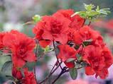 Азалія японська С2 Розова, Червона,Біла, фото 2
