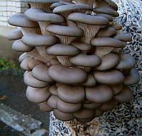 Мицелий  зерновой маточный  Вешенка серая, 250мл