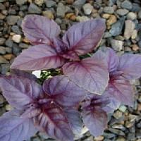 Семена базилик красный Бордо 50г