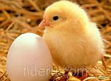 "Инкубатор для яиц автоматический ""Курочка ряба"" 60 с цифровым терморегулятором, фото 2"