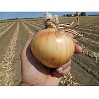 Спай F1 насіння цибулі озимої ранньої 240-250 днів Agri Saaten 50 000 насінин, фото 1