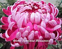 Крупноцветковая горшечная Хема Мейв