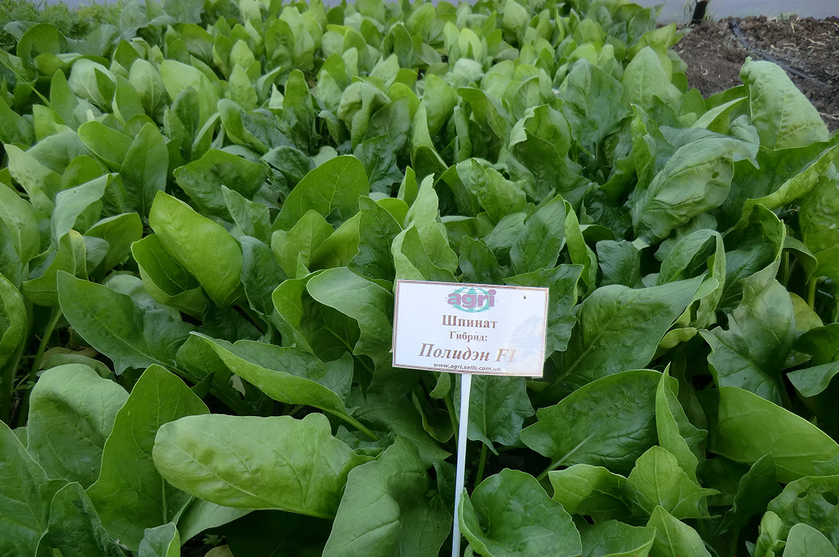 Семена шпината Полидэн F1 200 гр Agri Saaten