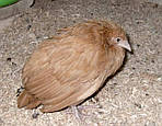 Кокцидиоз птиц
