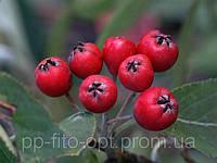 Рябина красная плоды
