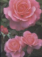 Царица цветов - роза