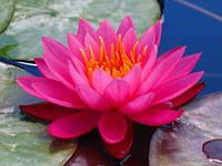 Нимфея «Mayla» (Майла) (кувшинки, водные лилии)