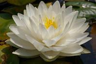 Нимфея Gonnere (Жоннори) (кувшинки, водные лилии)