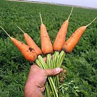 Семена моркови Шантане GR Ред коред 0,5 кг. Сакура