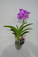 Орхидея Ванда в стеклянной вазе